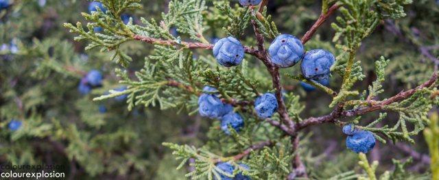 El fruto de uno de los árboles que podemos encontrar en nuestra ruta y que da nombre a la aldea: El Sabinar.